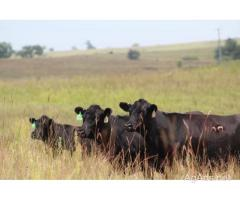 50+ Black Angus Bred Montana Heifers