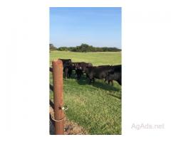 45 Head - Bred Angus Heifers