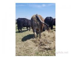 6 Confirmed Bred Commercial Cows (fall calvers)