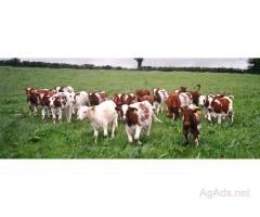 Dairy Calves,Heifers and Pregnant Cows