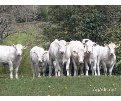 Beef Heifer Calves, Open Heifers