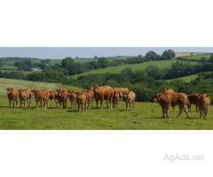 Dual/Triple Purpose, Dairy and Beef Cattle now in stock