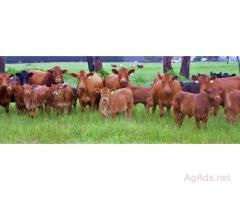 Dual/Triple Purpose Cattle now in stock