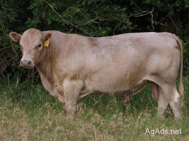 Murray Grey Bulls for Sale