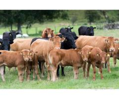 Grass Fed Organic Beef Cattle and A2/A2 Positive Heritage Dairy Breeds