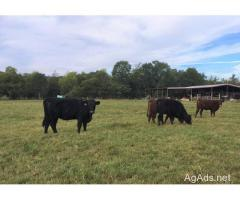 25 Devon Cross Yearling Heifers for Sale