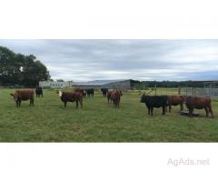 20 Devon Cross Replacement Heifers for Sale