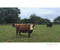 20 Devon Cross Cows for Sale