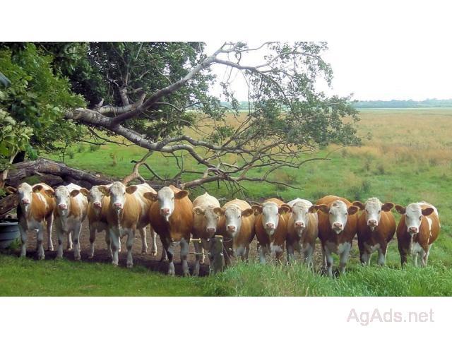 Weaned Simmental Heifers