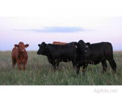 Gelbvieh, Limousin, Simmental and Charolais Open/Replacement Heifers Available