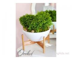 Spike Moss Plant